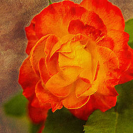 Barry Jones - Variegated Beauty - Rose Floral