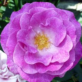 Will Borden - Variegated Pink Rose