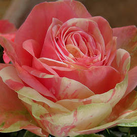 Ana Dawani - Variegated Rose