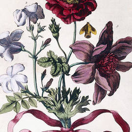 Various European insects and flowers - Maria Sibylla Graff Merian