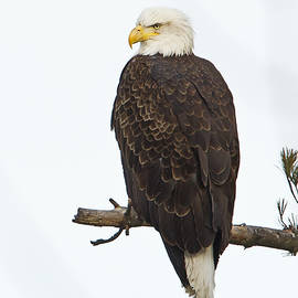 John Vose - Vermont Bald Eagle