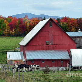 Catherine Sherman - Vermont Cows at the Barn