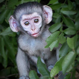 Ronel Broderick - Vervet Monkey Baby Lake St Lucia