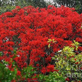 Kaye Menner - Vibrant Flame Tree by Kaye Menner
