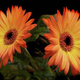 Terence Davis - Vibrant Gerbera Daisies
