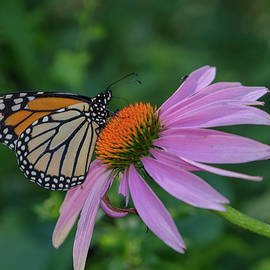 Linda Howes - Vibrant Monarch