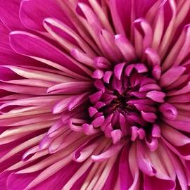 Bruce Bley - Vibrant Pink Dahlia
