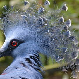 Don Columbus - Victoria Crowned Pigeon 3