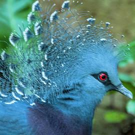 Daniel Hebard - Victoria Crowned Pigeon