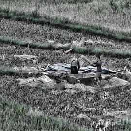 Chuck Kuhn - Vietnamese Rice Harvest
