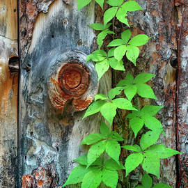 David T Wilkinson - Vine on Rough-Wood Siding