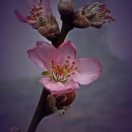 Richard Cummings - Vintage Almond Blossom
