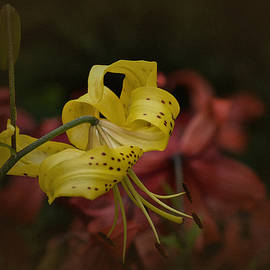 Richard Cummings - Vintage Asiatic Lily