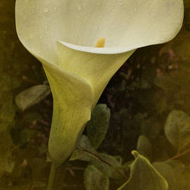 Richard Cummings - Vintage Calla in the Rain