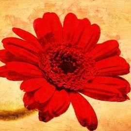 Scott Carruthers - Vintage Gerbera Daisy