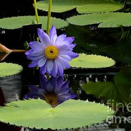 Violet and yellow water lily flower in water with floating leaves
