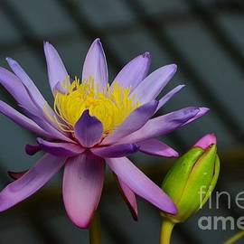 Imran Ahmed - Violet and yellow water lily flower with unopened bud