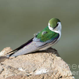 Mike Dawson - Violet-Green Swallow