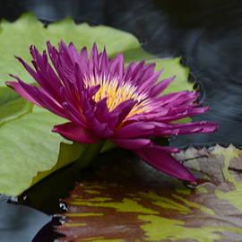 Maria Urso - Violet Lotus