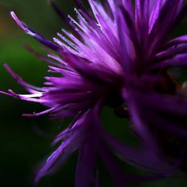 Damijana Cermelj - Violet petals