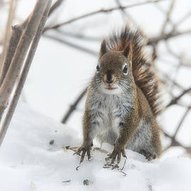 Susan Capuano - Visit From A little Red Squirrel