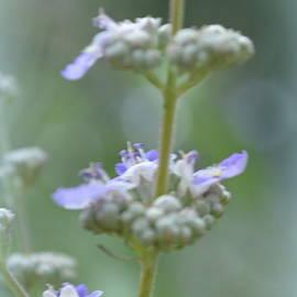 Linda Covino - Vitex Cannabinifolia