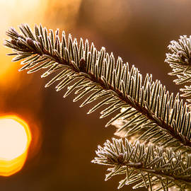 Chris Bordeleau - Warm Frost on Pine Needles