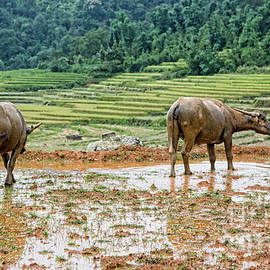 Chuck Kuhn - Water Buffalo Rice Vietnam