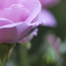 Jennie Marie Schell - Water Drop on Rose Petal