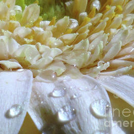 Kim Tran - Water Drops on white Gerbera