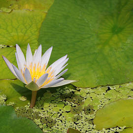 Allen Beatty - Water Lily 39