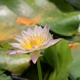 Allen Beatty - Water Lily 43