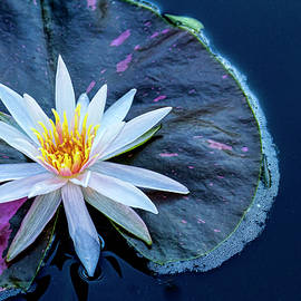 Lindley Johnson - Water Lily Beauty