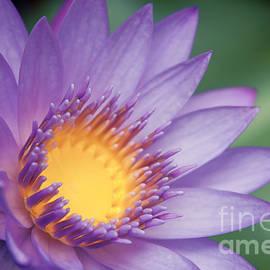 Sharon Mau - Water Lily Nymphaea nouchali Star Lotus