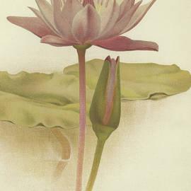 Water lily  Nymphaea zanzibarensis - English School