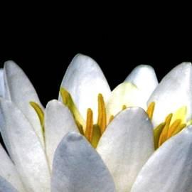 Angela Davies - Water Lily Petals