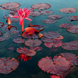 Patti Deters - Water Lily - Red Flare