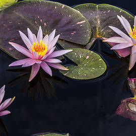 Lindley Johnson - Water Lily Trio