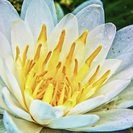 Pamela Williams - Water Lily White Yellow 4