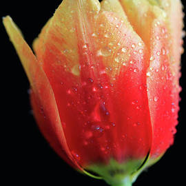 Tracy Hall - Waterbead Tulip