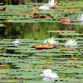 Waterlilies In The Morning