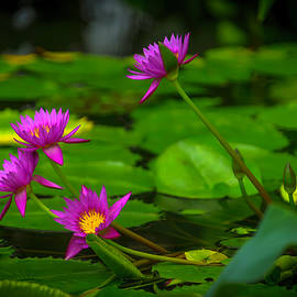 Waterlily Blossoms - Garry Gay