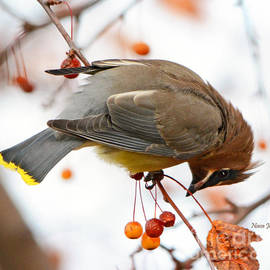 Nava Thompson - Waxwing Hunting Berries