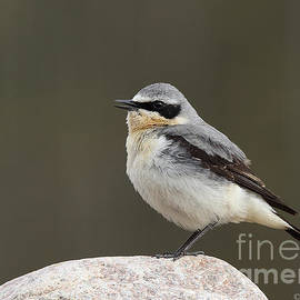 Mats Janson - Northern Wheatear