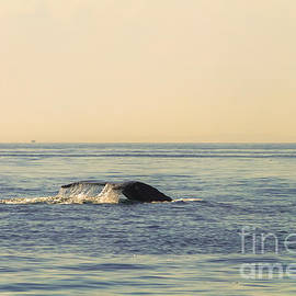 Claudia Mottram - Whale watching - Humpback whale 2