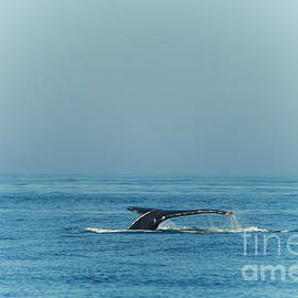 Claudia Mottram - Whale watching - Humpback whale