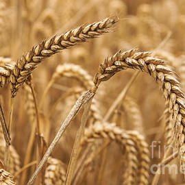 Marcin Rogozinski - Wheat Ears 1