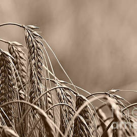 Dan Radi - Wheat Ears