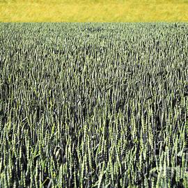 Maria Bobrova - Wheat Field Abstract