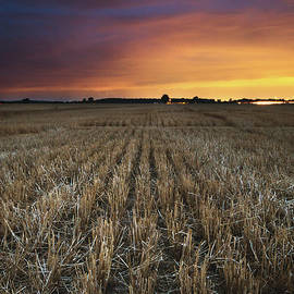 Wheat Rows After Sunset - Cale Best